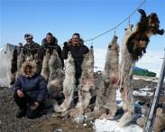 Arctic Wolf hunts