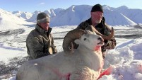 Hunting Dall Sheep, Caribou and Moose