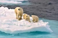 Melting Arctic Circle Ice Drives Polar Bears Closer to Extinction
