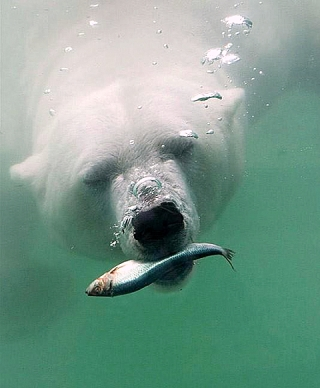 Massive fishing in the Arctic affects food sources of inhabitants