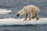 Photo of frail polar bear illuminates the tragedy unfolding in the Arctic