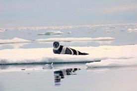 an Arctic Seal