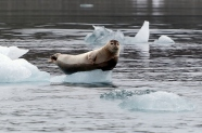 Global Warming and Ringed Seals