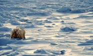 Canada is enforcing its own environmental legislation to protect its polar bear population